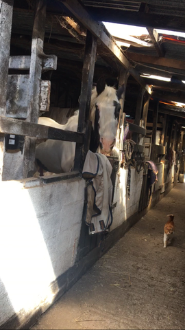 Badger the shire horse in stable with farm cat