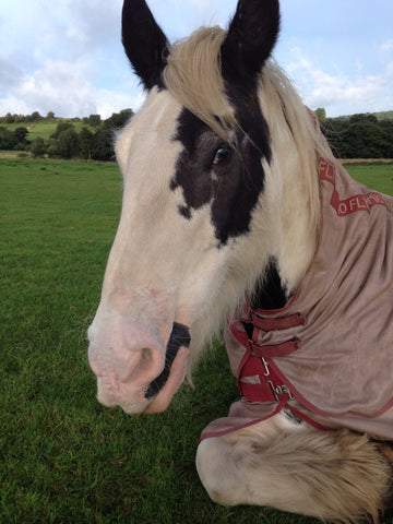 Badger the Irish Cob horse lay in farm field