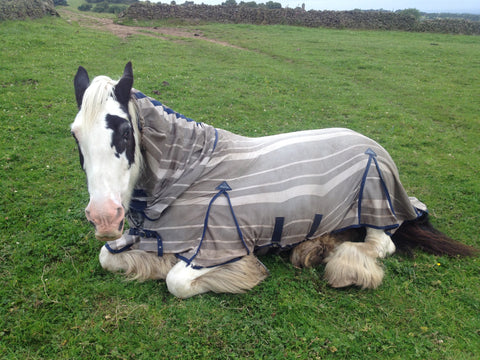 Badger the Shire Horse lay in the farm field in his fly rug