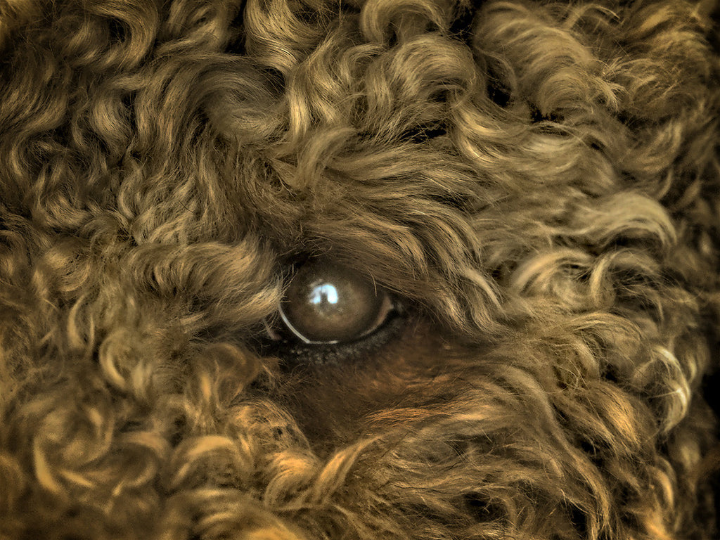 Eye of the Dog