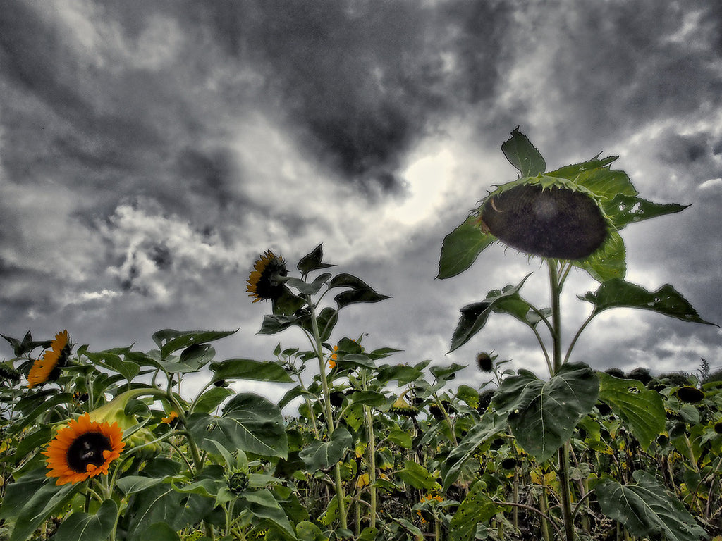 Sun Flowers and Approaching Storm