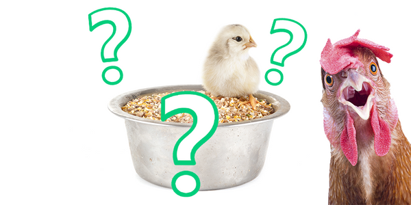 The Truth Behind Layer Feed for Backyard Chickens (What They Don't Tell You)