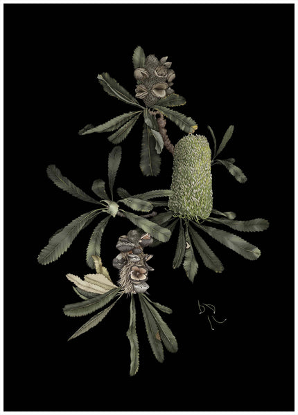 """Banksia Serrata Plant Portraits"" by Edith Rewa"