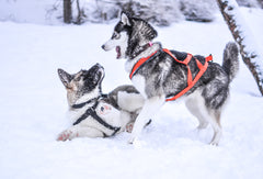Playful huskies in the snow
