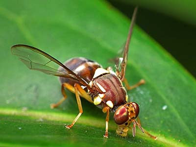 Fruit Fly Species in Australia