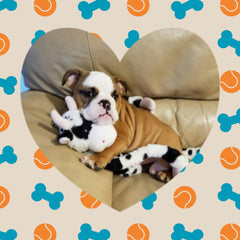 Thanks to his new mom Tracy, Cooper the English Bulldog is at home snuggled up with his favorite toy!!! - Key West, FL