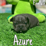 Azure - SOLD!!! to Junior Alvarez - Miami, FL