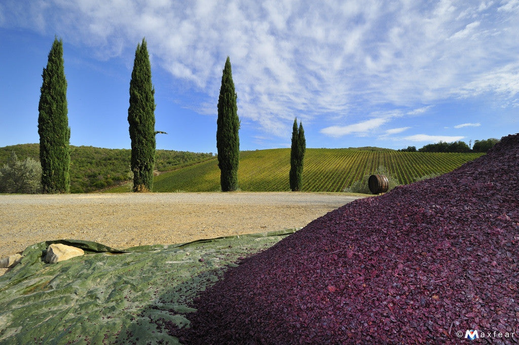 Pressed Sangiovese grape skins in the vineyard in Tuscany