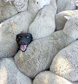 A dog's head poking out from in between sheep
