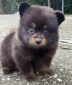 A tiny puppy that looks like a bear