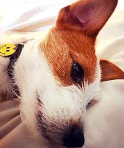 Dog laying in bed with a smiley face pet tag on