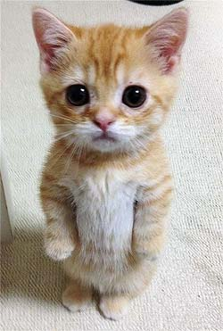 An orange kitten standing on its hind legs.