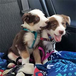 puppy chewing on brother puppy