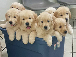 6 puppies in a bucket
