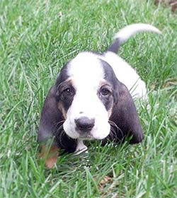 Dog with floppy ears in the grass.