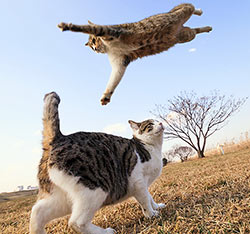 A cat flying in the air over a startled cat.