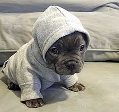Tiny dog with a doggy hoodie on