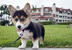 A very short and very cute dog