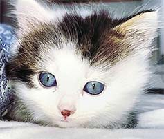 Cute blue-eyed kitten