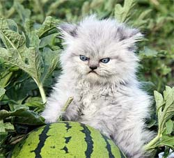 Grumpy cat in a watermelon patch