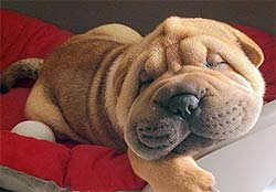 Wrinkly faced puppy