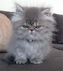 very grumpy looking long haired cat