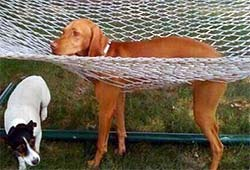 A dog whose legs have slipped through the holes in the hammock.