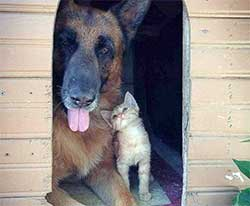 A large dog and kitten snuggling in a dog house.
