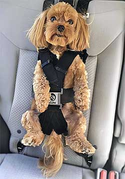 A small dog fastened into a child car seat.