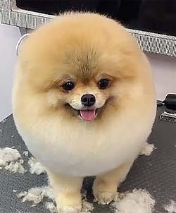 dog with funny haircut