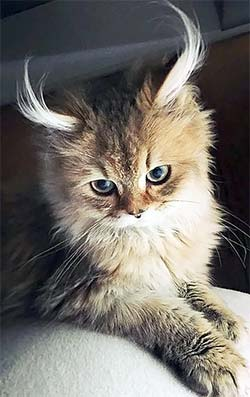 cat with two inch ear hair