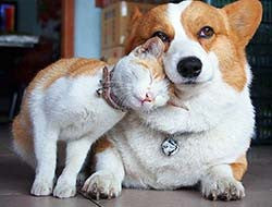 A cat nuzzling with a dog