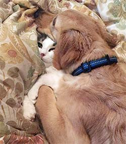 A dog cuddling on top of a cat