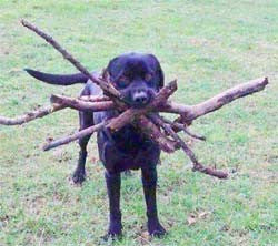 A dog with many sticks on its mouth