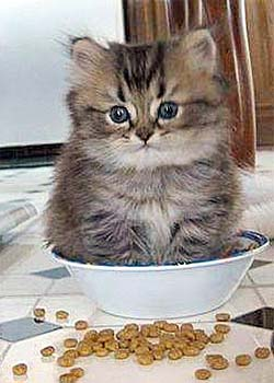 kitten in a kibble bowl