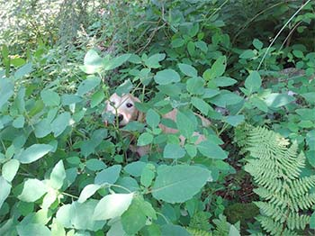 dog hiding in the ferns