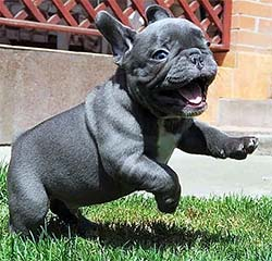 wrinkly puppy running