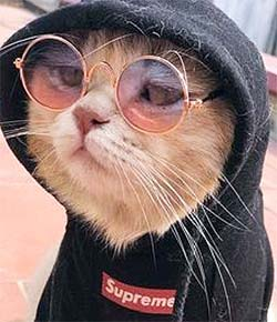 cat with sunglasses and a hoodie