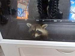 racoon in a food vending machine