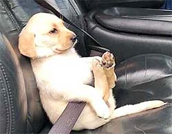 puppy in a seatbelt sitting like a human