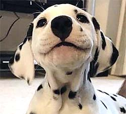 Dalmation puppy smiling with wrinkly lips