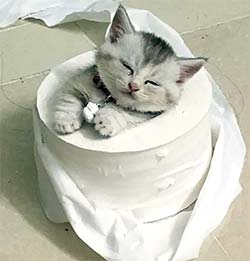 tiny kitten in a toilet paper roll's center