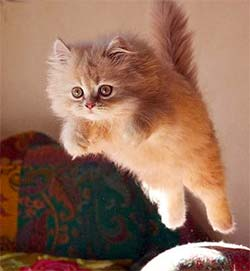 Fluffy kitten flying through the air