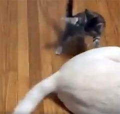 kitten swatting a dog's tail
