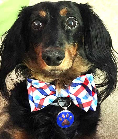 Dasher the long haired Dachshund wearing a bow tie and a cute LuckyPet paw jewelry tag.