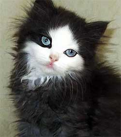 cute fuzzy black & white kitten