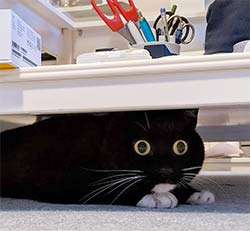 cat with startled expression hiding under a table