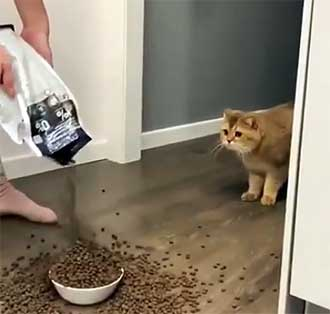 cat staring at kibble overflowing in bowl