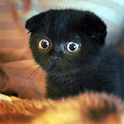 black Scottish fold kitten looking startled