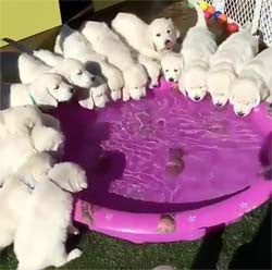 15 puppies drinking from a kid pool